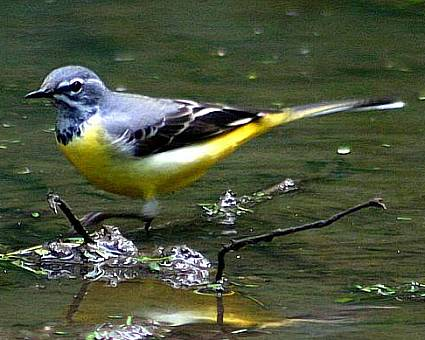 Grey Wagtail © David Shackelford