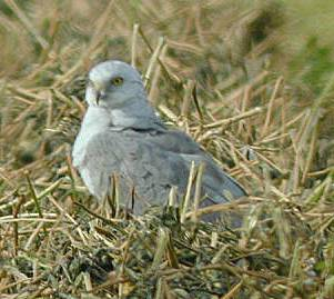 latest images of pallid harrier youtube